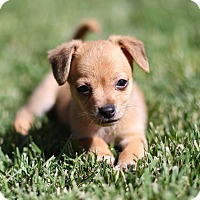 Adopt A Pet :: Beans - San Diego, CA