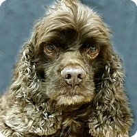 Cocker Spaniel Dog for adoption in Newington, Virginia - Choco