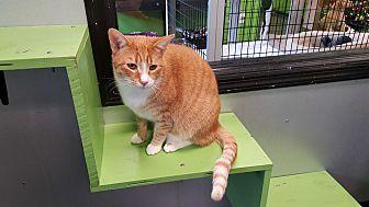 Domestic Shorthair Cat for adoption in Barnwell, South Carolina - Rhett