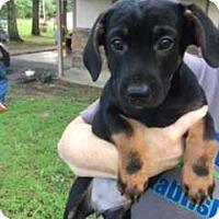 Adopt A Pet :: GB_Remi - E. Greenwhich, RI