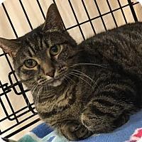 Domestic Shorthair Cat for adoption in Furlong, Pennsylvania - Ava