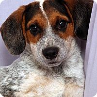 Adopt A Pet :: Kaden Heeler Mix - St. Louis, MO