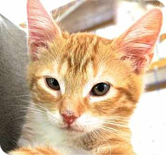 Maine Coon Kitten for adoption in Davis, California - Winken