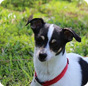 Terrier (Unknown Type, Medium) Mix Dog for adoption in Sarasota, Florida - Lady