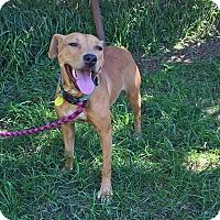 Retriever (Unknown Type)/Terrier (Unknown Type, Medium) Mix Dog for adoption in Cleveland, Ohio - Spice