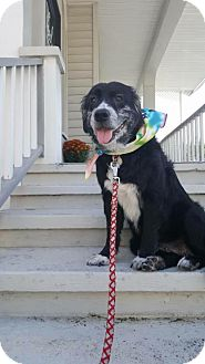 Collie/Border Collie Mix Dog for adoption in Palm Harbor, Florida - Sweetie