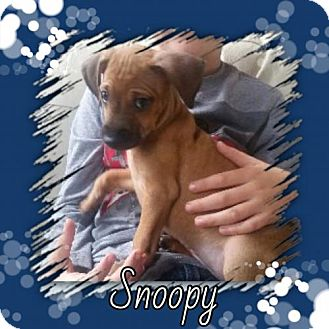 Pug/Dachshund Mix Puppy for adoption in Genoa City, Wisconsin - Snoopy