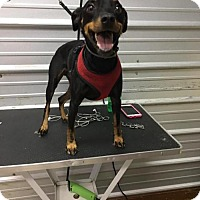 Miniature Pinscher Dog for adoption in Columbia, Tennessee - Freedom/DD