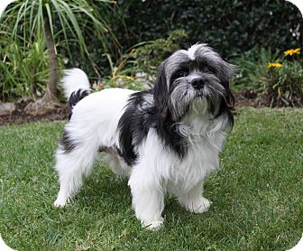Shih Tzu Mix Dog for adoption in Newport Beach, California - CONCORD