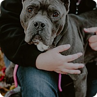 Cane Corso/American Staffordshire Terrier Mix Dog for adoption in west berlin, New Jersey - Piper