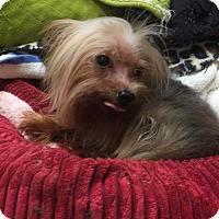 Yorkie, Yorkshire Terrier Mix Dog for adoption in Whitestone, New York - Gailbe