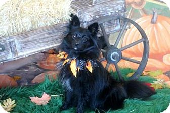 Pomeranian Puppy for adoption in Dallas, Texas - Jack