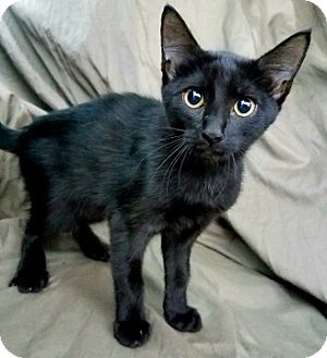 Domestic Shorthair Kitten for adoption in Aurora, Colorado - Doodle