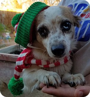 Papillon/Chihuahua Mix Dog for adoption in Apple Valley, California - Pogo