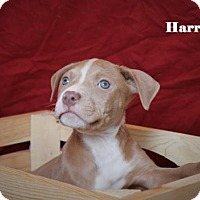 Adopt A Pet :: Harrison - Westminster, CO