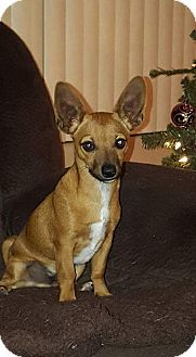 Chihuahua Mix Puppy for adoption in Mesa, Arizona - Carmello