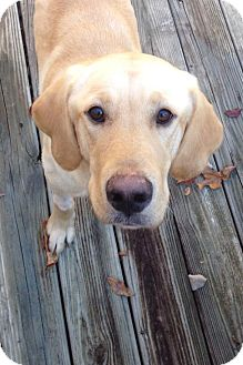Labrador Retriever Mix Dog for adoption in Richmond, Virginia - Bentlee