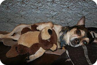Chihuahua Dog for adoption in Shawnee Mission, Kansas - Brutus