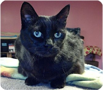 Domestic Shorthair Cat for adoption in Milford, Massachusetts - Joy and Cupid