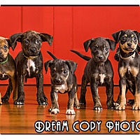 Adopt A Pet :: Boston Mix Puppies - Owensboro, KY
