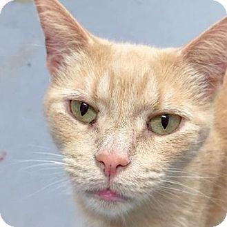 American Bobtail Cat for adoption in Chambersburg, Pennsylvania - Bobby