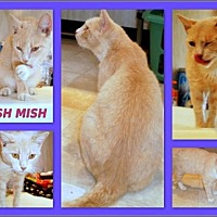 Domestic Shorthair Cat for adoption in Berkeley Springs, West Virginia - Mish Mish