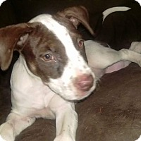 Pit Bull Terrier Mix Puppy for adoption in Wichita Falls, Texas - Miss Fortune