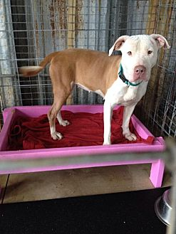 Pit Bull Terrier Mix Dog for adoption in Sarasota, Florida - Nelly