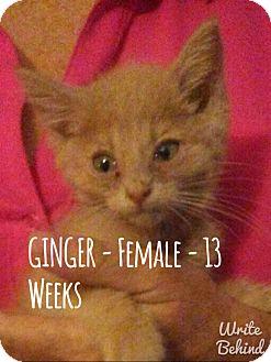 Domestic Shorthair Kitten for adoption in Glendale, Arizona - GINGER