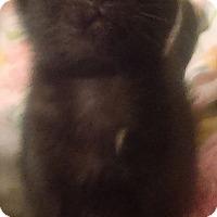 Adopt A Pet :: Black cat lovers - Glen cove, NY