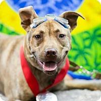 Adopt A Pet :: Brody - Scarborough, ME