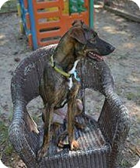 Shepherd (Unknown Type) Mix Dog for adoption in Covington, Louisiana - Harley
