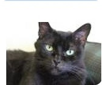 Domestic Shorthair Cat for adoption in Euclid, Ohio - Patti
