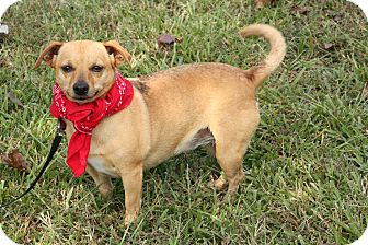 Chihuahua Mix Dog for adoption in Glastonbury, Connecticut - Chelsea