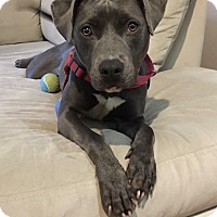 Adopt A Pet :: Mattie - Boston, MA