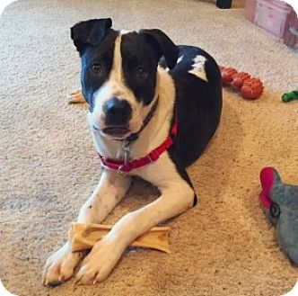 Terrier (Unknown Type, Medium) Mix Dog for adoption in Chalfont, Pennsylvania - Riley