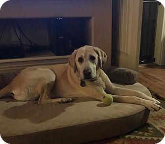 Labrador Retriever Dog for adoption in Colorado Springs, Colorado - Hoover