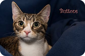 Domestic Shorthair Kitten for adoption in San Juan Capistrano, California - Buttons