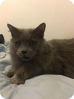 Maine Coon Cat for adoption in St. Cloud, Florida - Sherlock