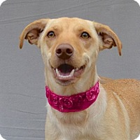 Labrador Retriever/Terrier (Unknown Type, Medium) Mix Dog for adoption in Chattanooga, Tennessee - Spunky