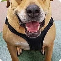 Boxer Mix Dog for adoption in Boston, Massachusetts - Buster