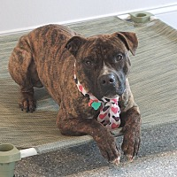 American Staffordshire Terrier/Boxer Mix Dog for adoption in Avon, Ohio - Mack