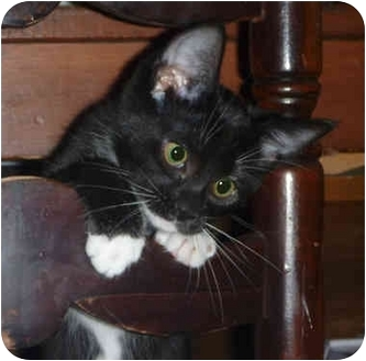 Domestic Shorthair Kitten for adoption in San Ramon, California - Pita