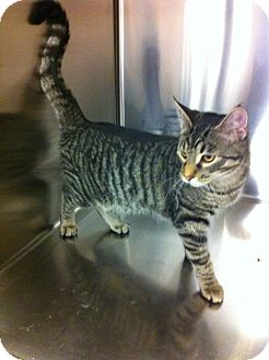 Domestic Shorthair Kitten for adoption in Pittstown, New Jersey - Bailybobo