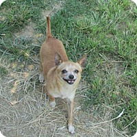 Adopt A Pet :: BURRITO - TINY 3# GUY! - WOODSFIELD, OH