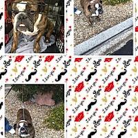 Adopt A Pet :: Cordelia - Las Vegas, NV