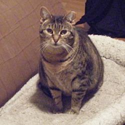 Photo 2 - Domestic Shorthair Cat for adoption in Kensington, Maryland - Savannah