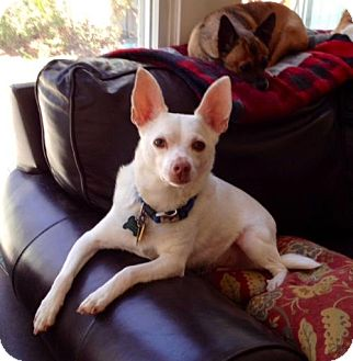 Chihuahua/Rat Terrier Mix Dog for adoption in Rockaway, New Jersey - Casper Chi