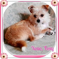 Adopt A Pet :: Foxy - Seattle, WA
