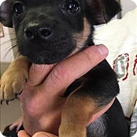 Adopt A Pet :: Versace - Chanel pup - Encino, CA